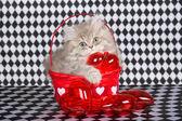 Chinchilla kitten in Valentine basket — Stock Photo