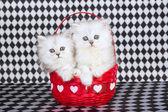 2 Chinchilla kittens in Valentine basket — Stock Photo