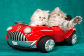 2 Chinchilla kittens in soft toy car — Stock Photo
