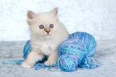 Birman kitten with yarn — Stock Photo