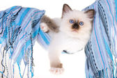 Birman kitten in cloth hammock — Stock Photo