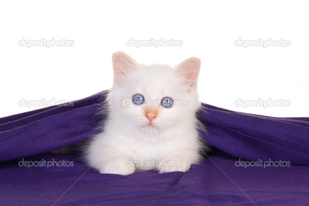 Birman kitten lying under purple cloth, on white background  Stok fotoraf #2093353
