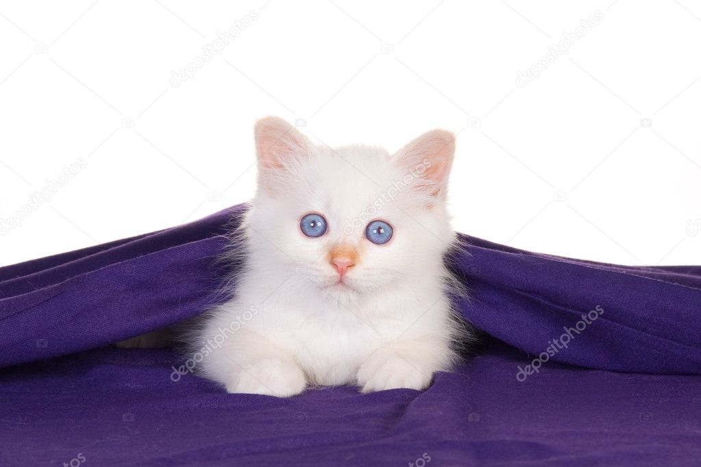 Birman kitten lying under purple cloth, on white background — Stock Photo #2093353