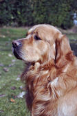 Golden retriever dog portrait sitting — Stock Photo