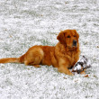 Golden retriever, sitting on snow — Stock Photo