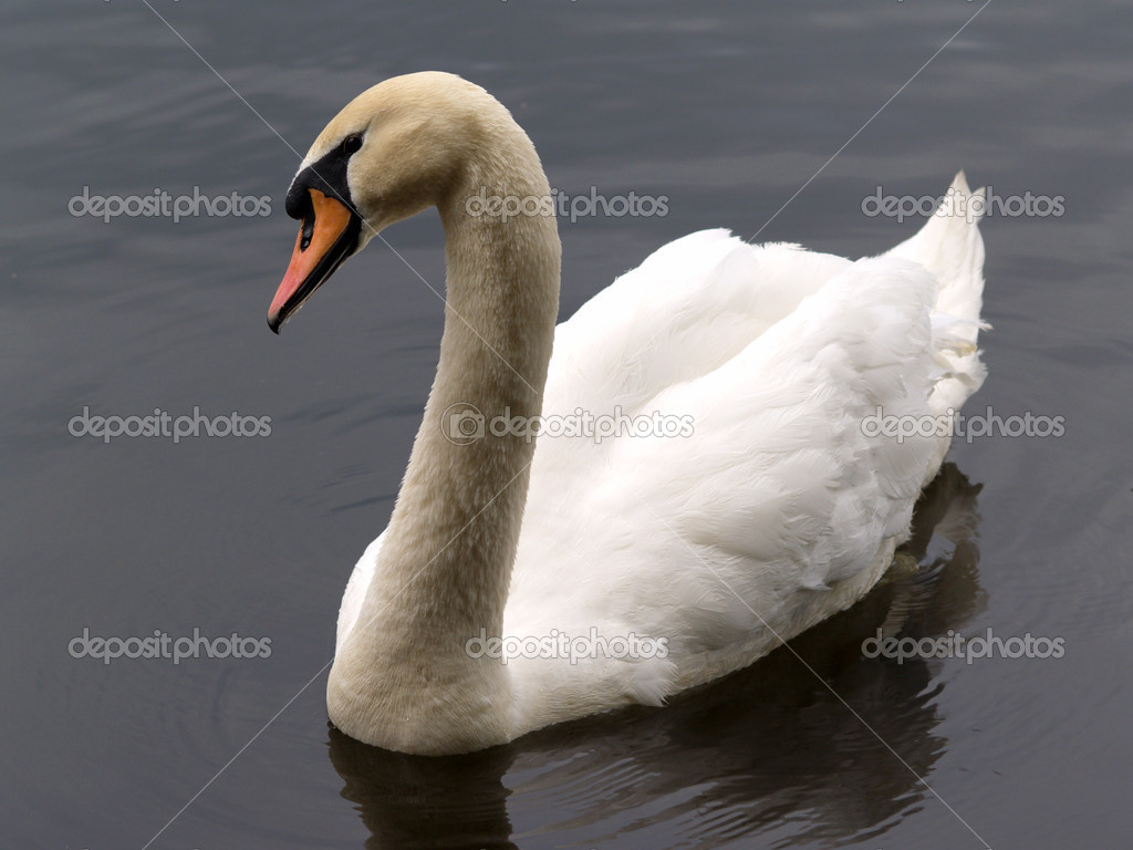 White swan swimming in grey water of pond     — Stock Photo #2125549
