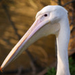 Stock Photo: Pelicans head