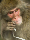 Macaque portrait — Stock Photo