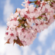 Branch of oriental cherry-tree — Stock Photo