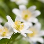 Anemone glabrata — Stock Photo #2152730