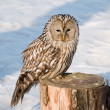 Owl on the stub — Stock Photo