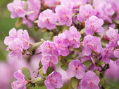 Lilac azalea — Stock Photo