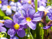 Blue primula — Stock Photo