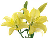 Yellow lilies on a branch — Stock Photo