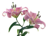 Two pink lilies on white — Stock Photo