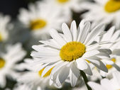 One ox-eye flower — Stock Photo
