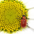 Red bug on small sun — Stock Photo