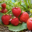 Bush of strawberry - Stock Photo
