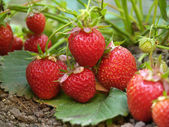 Bush of strawberry — Stock Photo