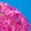 Pink hyacinth on blue — Stock Photo