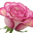 Head of pink rose - Photo