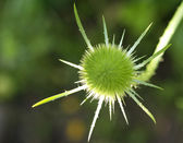 Green thorn — Stock Photo
