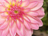 Dahlias flower — Stock Photo