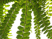 Branch of fern — Stock Photo