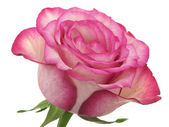 Head of pink rose — Stock Photo