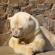 Stock Photo: White bear after dinner