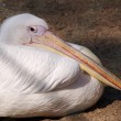 White pelican has a rest — Stock Photo