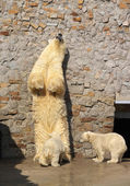 White bear and its cubs — Stockfoto
