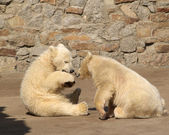 Two young bears — Stock Photo