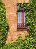 Window with vine — Stock Photo