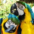 Two parrots - Stock Photo