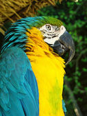 Dark blue a yellow parrot — Stock Photo