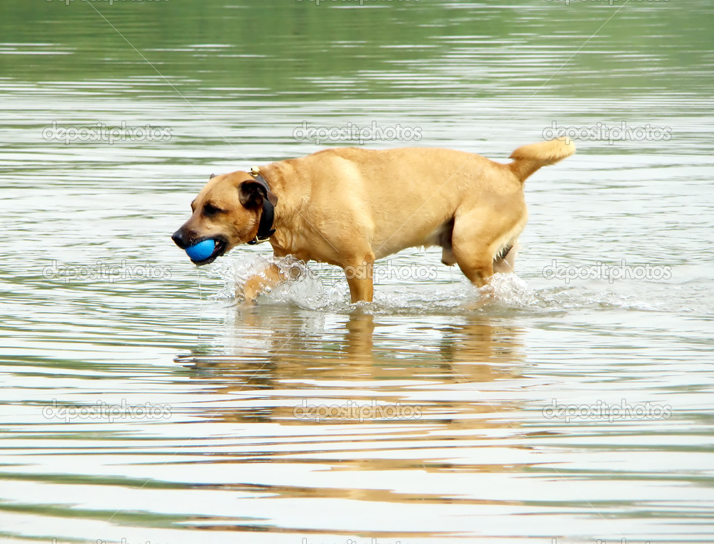 The dog is played in water with a ball                                — Stock Photo #2248139