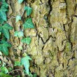 Ivy growing on a tree bark — Stock Photo