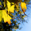 Yellow maple leaves close up — Stock Photo