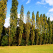 Trees standing in a row — Stock Photo