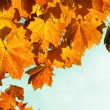 Stock Photo: Yellow fall leaves.