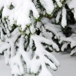 Fur-tree branch under snow - Stock Photo