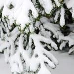 Fur-tree branch under snow — Stock Photo
