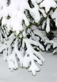 Fur-tree branch under snow — Stock Photo