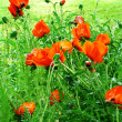 Red poppies 2 — Stock Photo