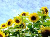 Solros i fältet mot himlen — Stockfoto