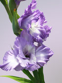Lilac gladiolus — Stock Photo