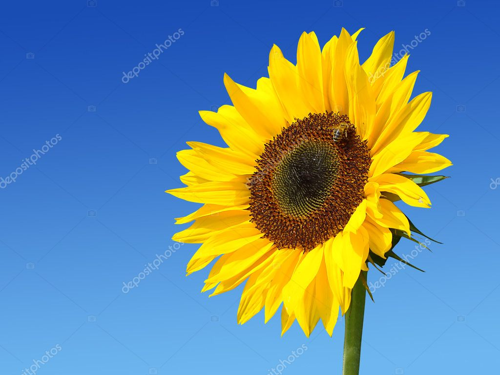 Sunflower against the dark blue sky with a bee                                — Stock Photo #2469063