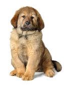 Köpek yavrusu tibetli mastiff — Stok fotoğraf