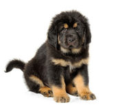 Puppy tibetan mastiff — Stock Photo